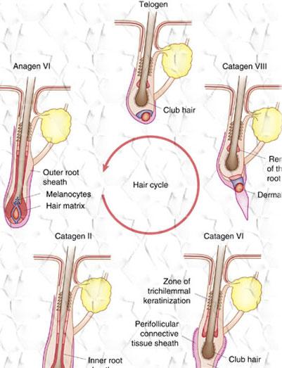 Ciclo del Capello - Alopecia Areata